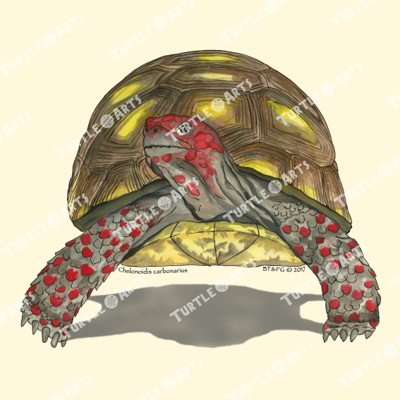 Turtle Model 27a artwork