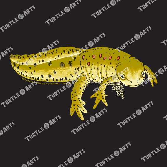 TSM2 Notophthalmus viridescens viridescens artwork